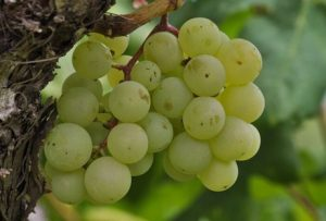 What is Riesling all About?